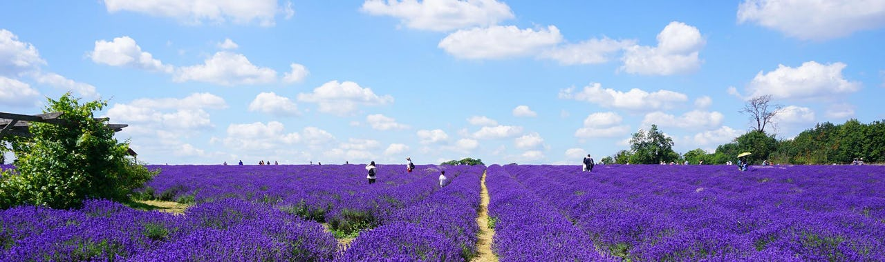 Lavender field at Mayfield Lavender Farm in Banstead, on a sunny day